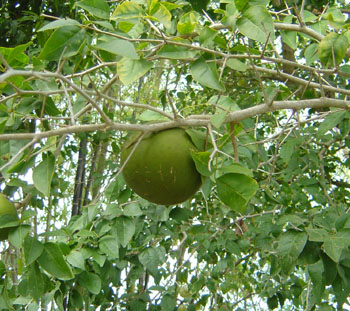 Bael Fruit image