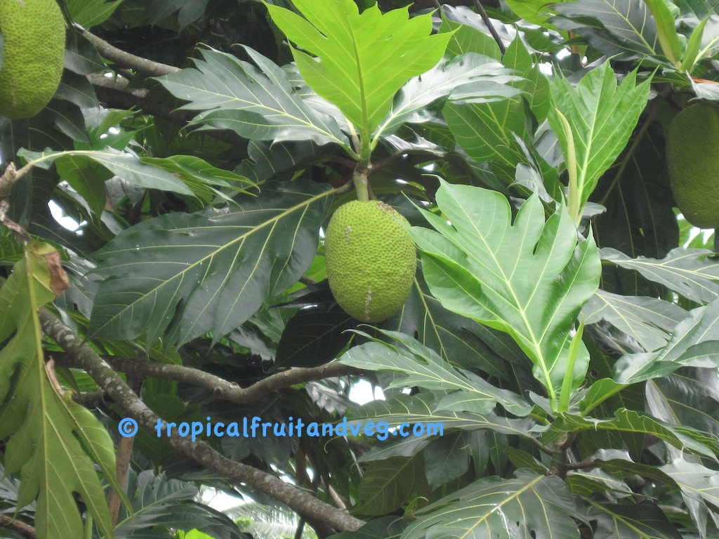 images/breadfruit3.jpg