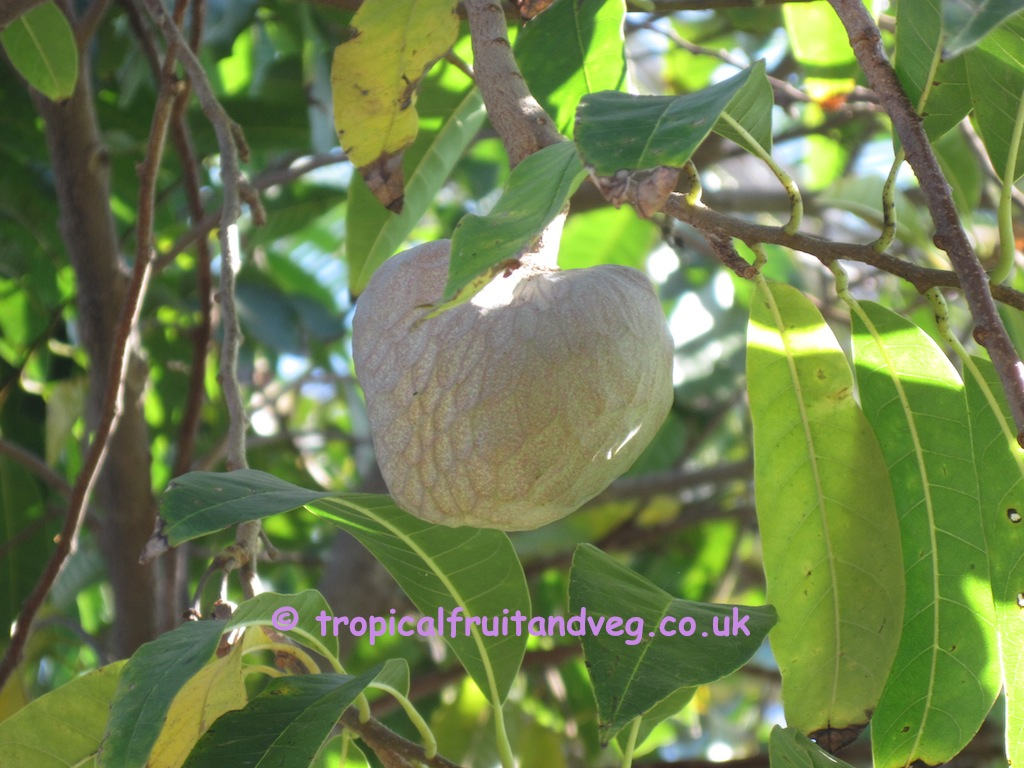 Custard Apple image