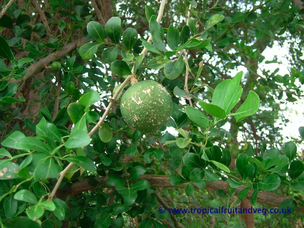 Tropicalfruitandveg Com About Wood Apple