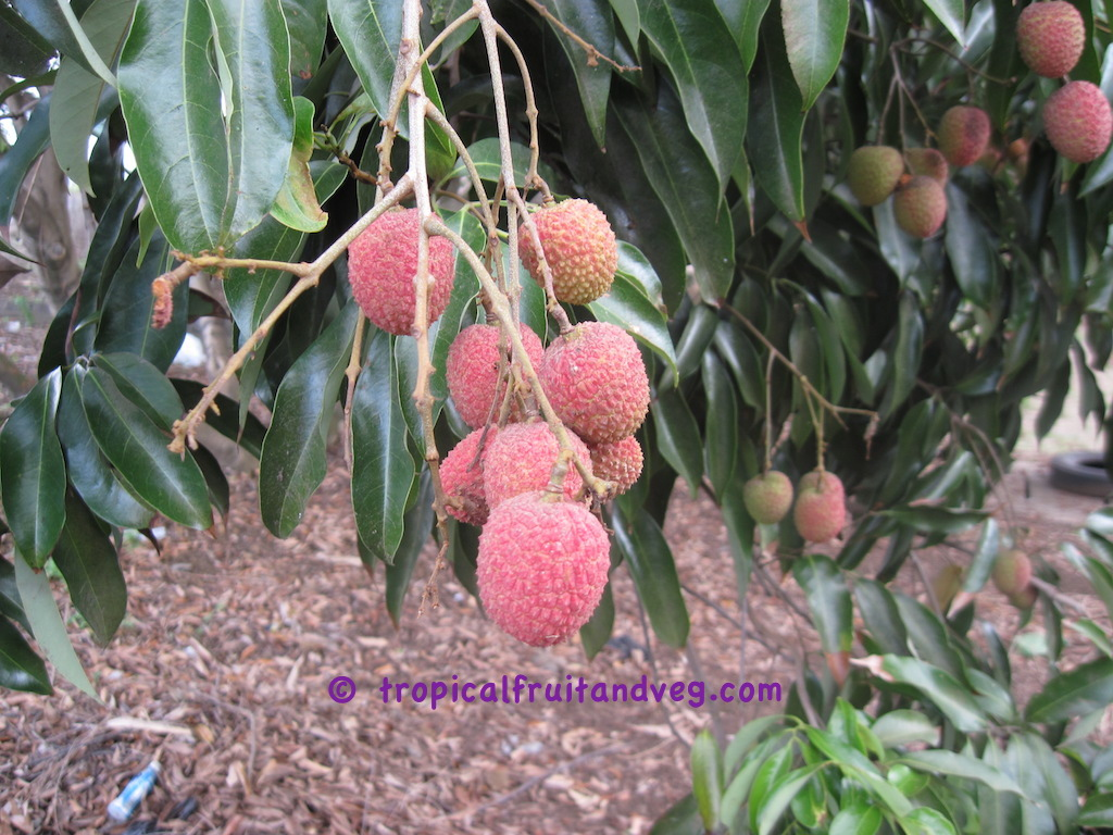 images/lychee1.jpg