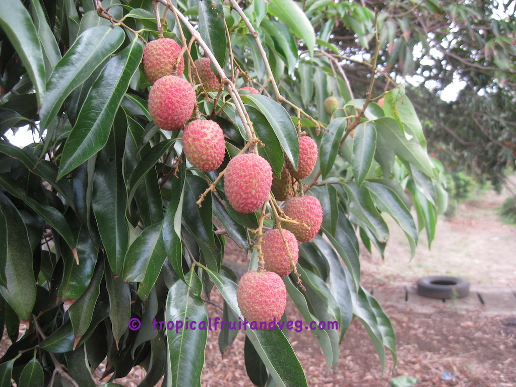 images/lychee2.jpg