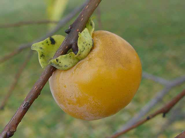 Persimmon image