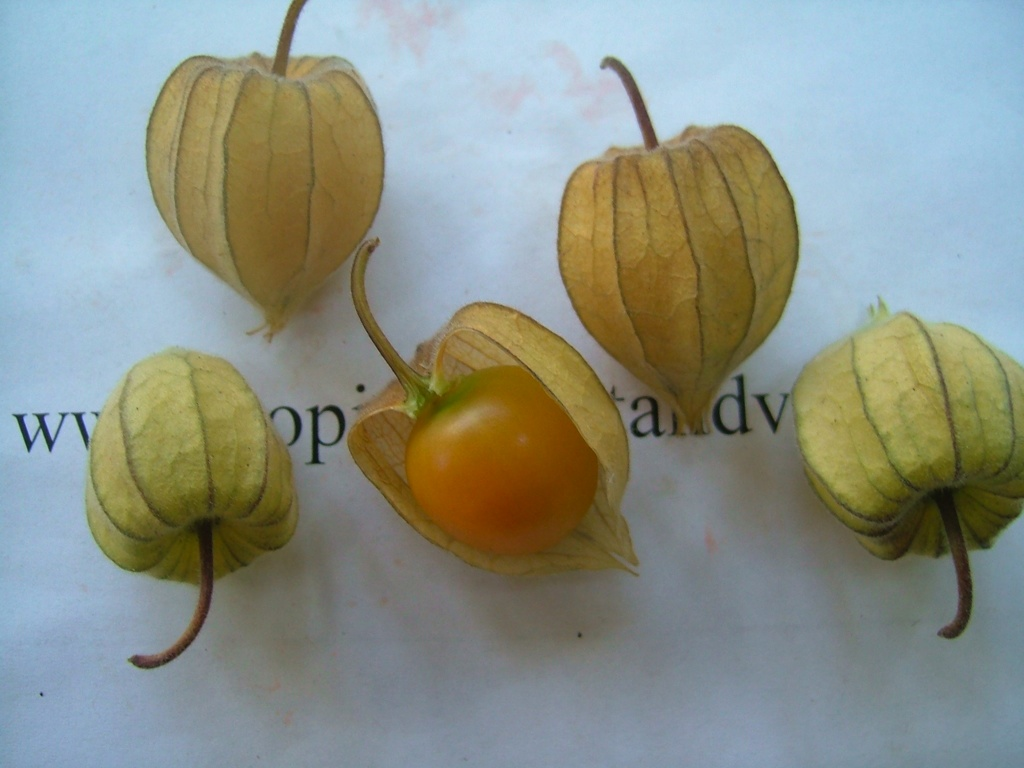 images/physalis2.jpg