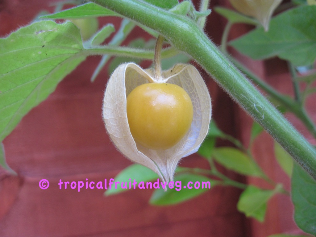 images/physalis4.jpg